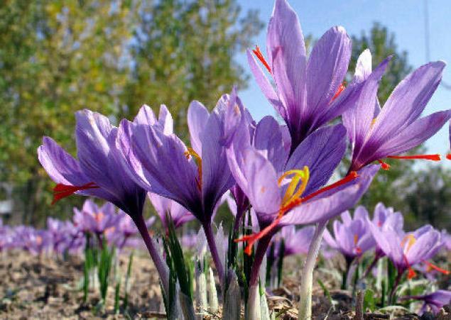 فواید عصاره گلبرگ زعفران , گل های بنفش , گیاه زعفران